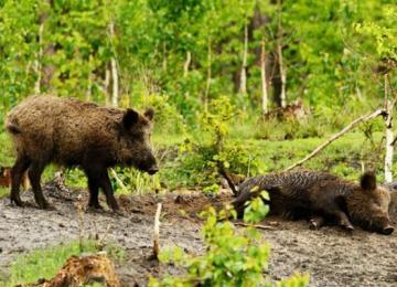 Заходи з ліквідації африканської чуми свиней в дикій фауні Білокуракинського району. Знищення диких кабанів біля села Курячівка